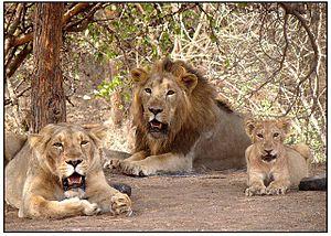 Documental: Los ultimos leones de la India