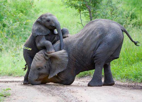 Manada de elefantes socorre a una cria caida