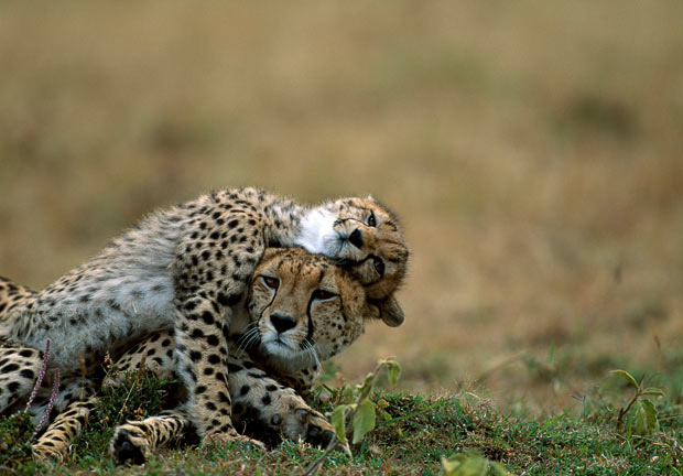 Familia de guepardos en Masai Mara