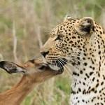 Leopardo cazando una cria de impala