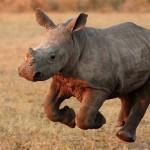 Grandes documentales – Salvando al rinoceronte