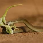 Serpiente boomslang cazando un camaleón en un suspiro