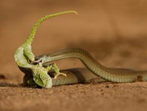 serpiente boomslang camaleon
