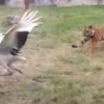 Grulla peleando con dos tigres