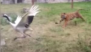 tigre peleando grulla