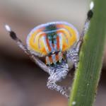 Increible araña Maratus volans bailando (HD)