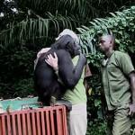 El abrazo de Jane Goodall y un chimpacé liberado
