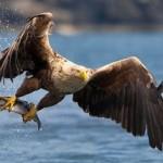 Aguilas cazando peces