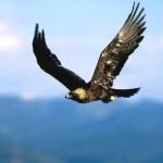 Documental – Las Aguilas americanas (El Aguila Cazando)