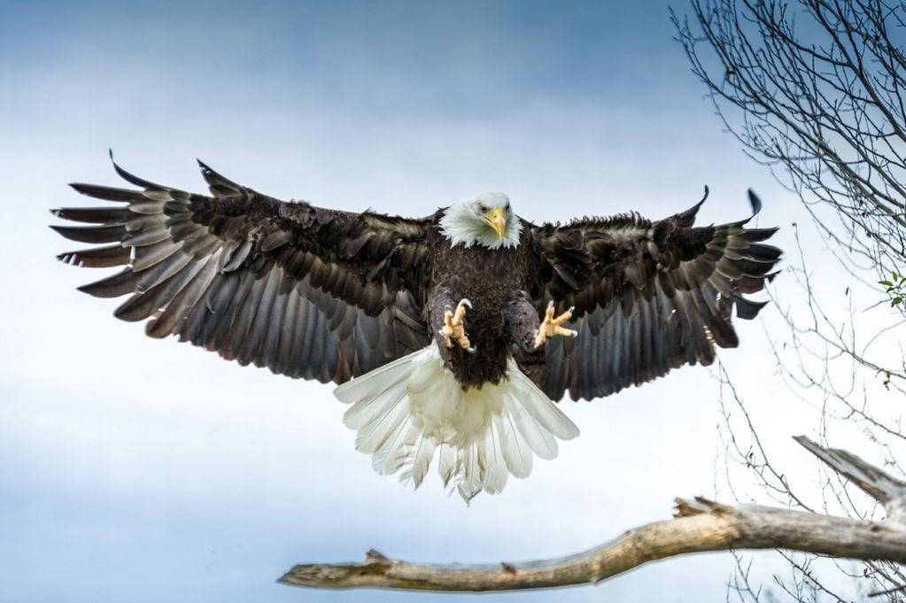 Aguila cazando una mamba negra