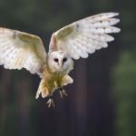 Increible, el silencioso vuelo de un buho