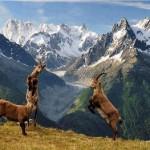 Cabras salvajes peleando (BBC Earth)