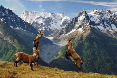 cabras salvajes peleando