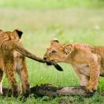 Cachorros de leon jugando (HD)