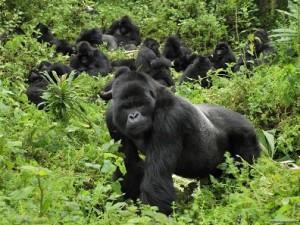 comunidad gorilas