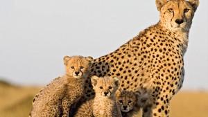 guepardo y crias