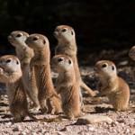 Jovenes suricatas descubren el mundo