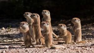 jovenes suricatas