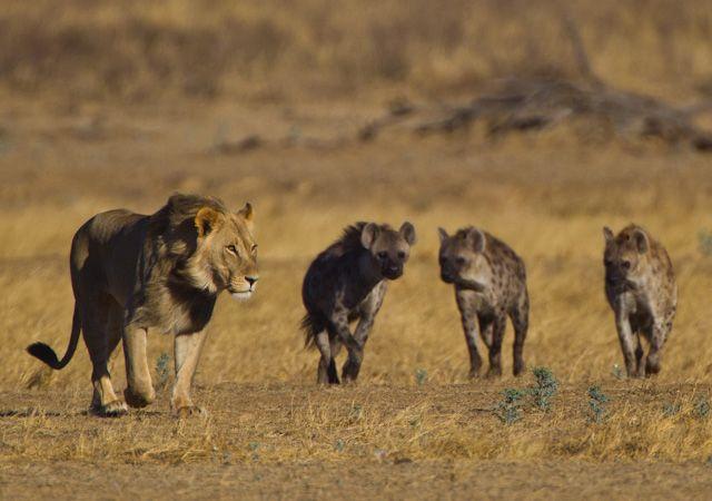Leon defendiendo territorio de hienas y otros leones