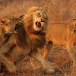 Dos leonas atacando a un leon