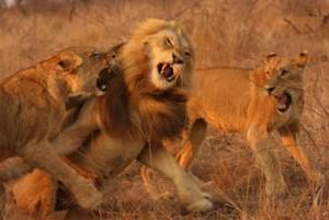 leonas atacando leon