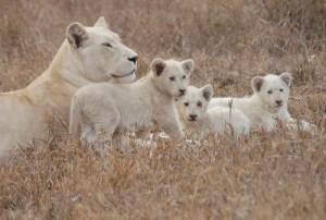 leones blancos timbavati
