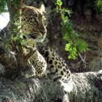 Reportaje de BBC Earth sobre el leopardo