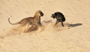 leopardo babuino