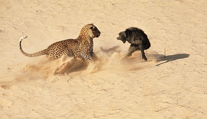 Babuinos enfrentandose a guepardos y leopardos