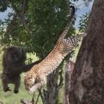 Impresionante: Leopardo cazando un babuino