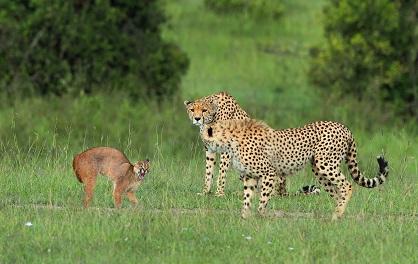 Serval hace frente a tres guepardos