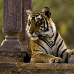 Hermoso video de tigres en Ranthambore