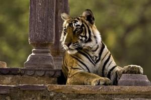 tigre Ranthambore