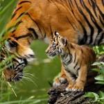 Cachorro de tigre mas joven jamas filmado