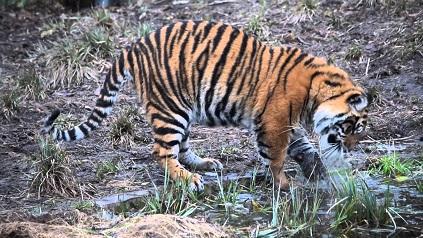 Tigre descubre el hielo