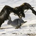 Repilacion de videos de aguilas cazando