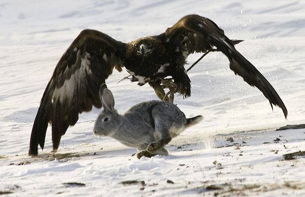 aguila cazando