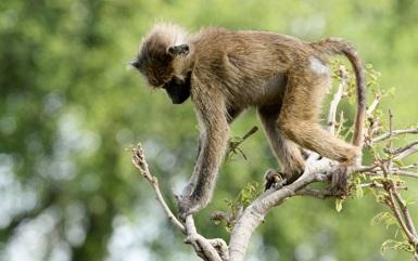 babuino tarangire