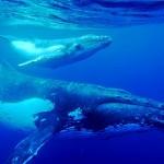 Ballenas jorobadas comunicandose