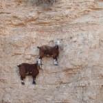 Asombrosas cabras bricandoras