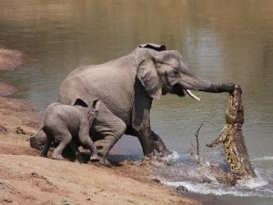 cocodrilo atacando elefante