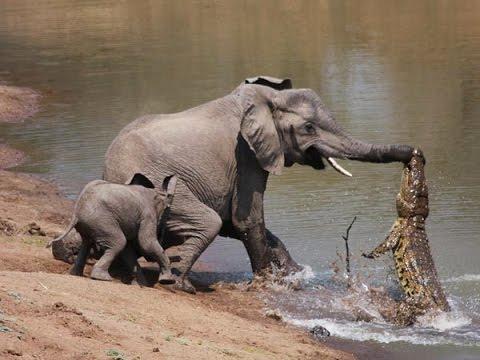 Cocodrilo atacando a un elefante
