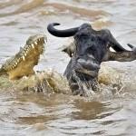 Cocodrilo cazando un bufalo