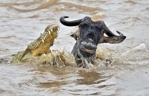 cocodrilo cazando bufalo