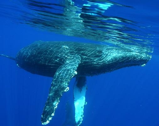 Cria ballena jorobada nadando bajo un kayak