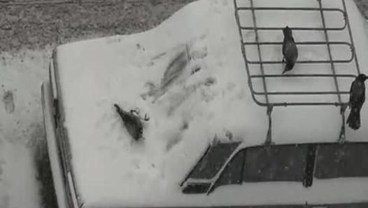 Cuervos jugando en un coche nevado