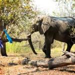 Elefante visitando el campamento