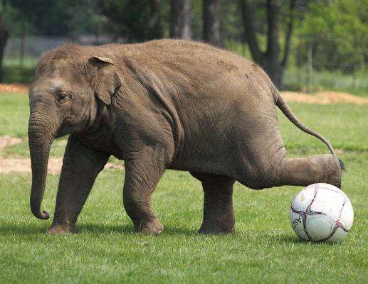 elefante jugando al futbol