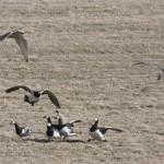 Halcon cazando un ganso