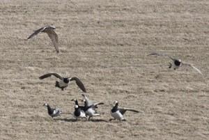 halcon cazando ganso